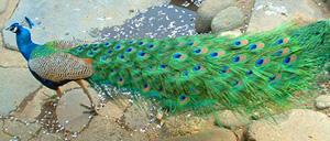 21peacock1.jpg